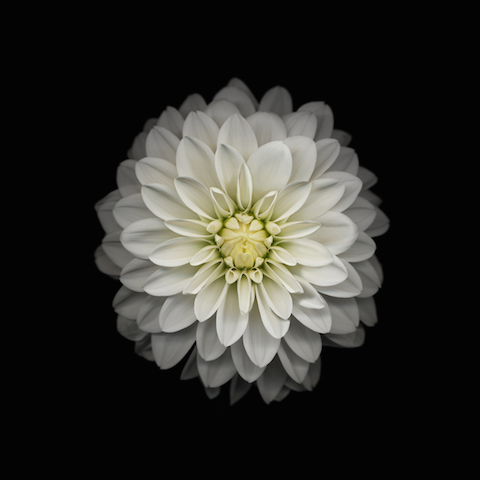 Wallpaper iOS8 Flor margarita fondo negro iPad 480