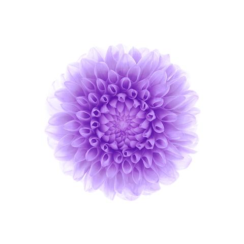 Wallpaper iOS8 Flor morada fondo blanco iPad 480
