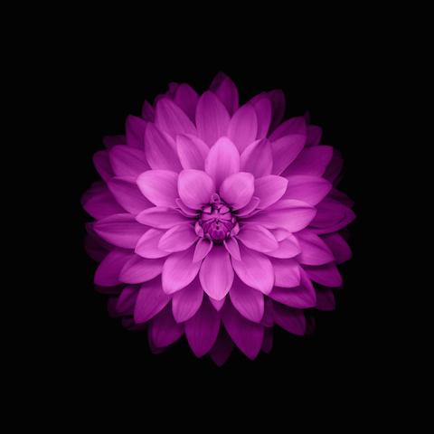 Wallpaper iOS8 Flor rosa fondo negro iPad 480